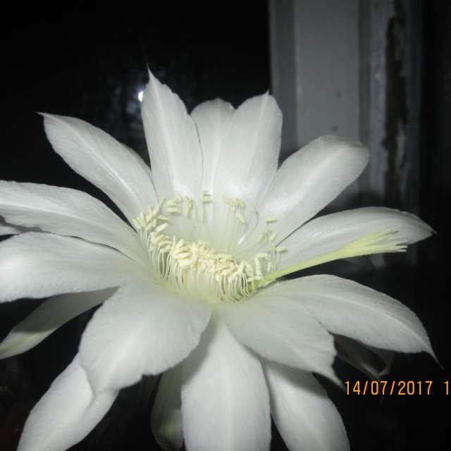 кактус цветет
