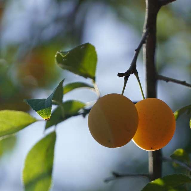 Cherry plum ripened