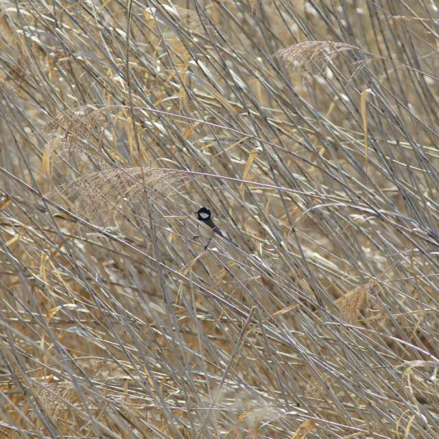 葦原のシジュウカラ