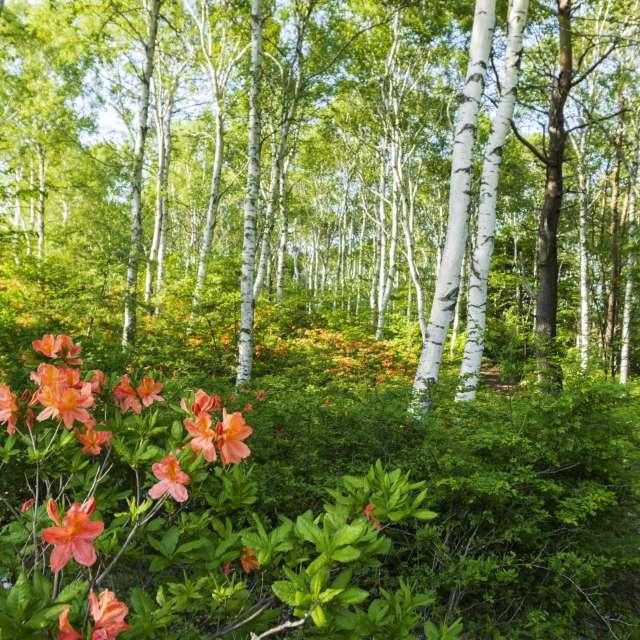 ツツジが満開の白樺林と遊歩道/長野県の八千穂高原