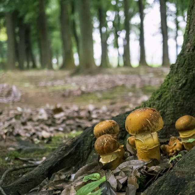 散歩で見つけたアカヤマドリタケの幼菌