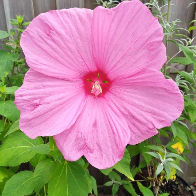 xxll hibiscus
