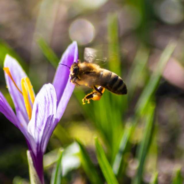 Busy bee on crocus flower