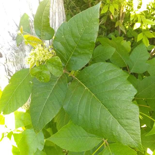 Beware leaves of three