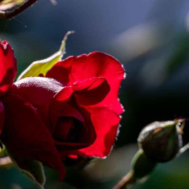 Light is through rose petals