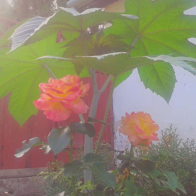 Rose n' Tree