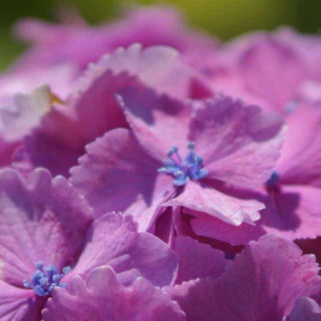 紫陽花ー少女のように