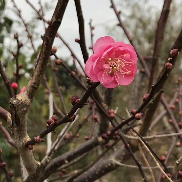 早くも梅の花が咲き始めました🌸