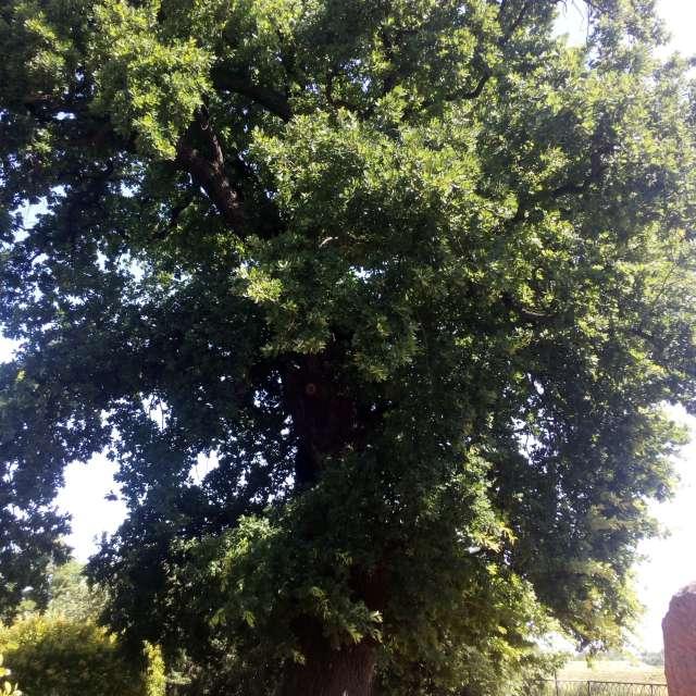 Вековой дуб.