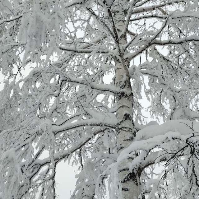 Берёза в снегу