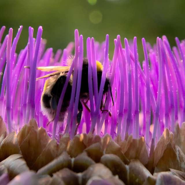 Bumblebee in a artichoke bloom