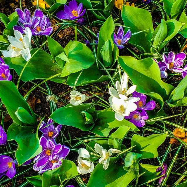 Spring Holland