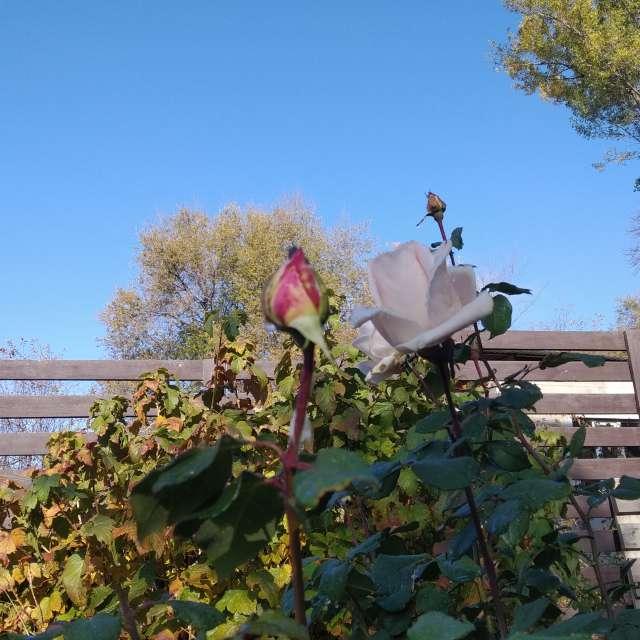 Утро, Розы - это красиво!