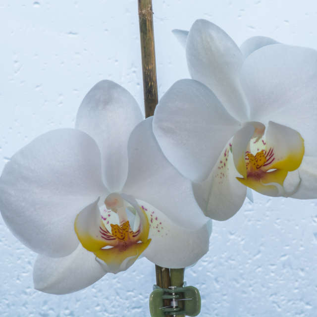 white orchid in the rain
