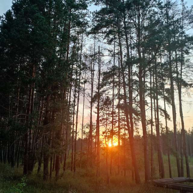 Sunset in the pine woods