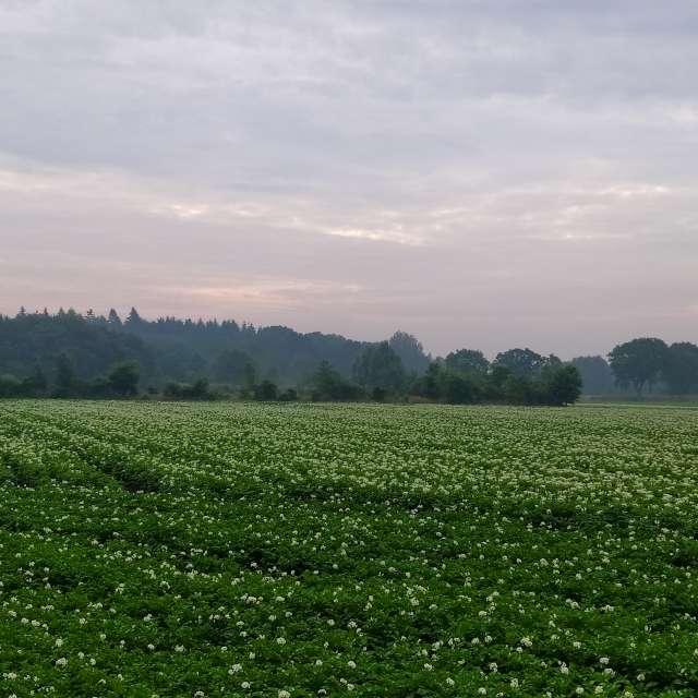 Blühendes Kartoffel-Feld