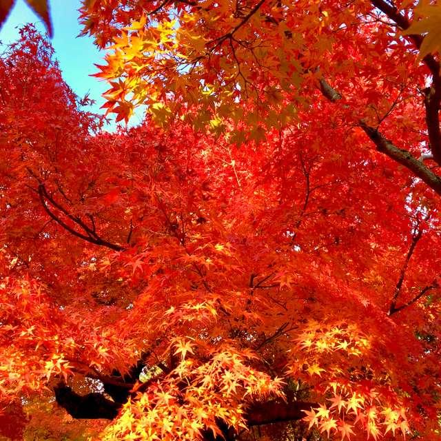 美しい照り紅葉