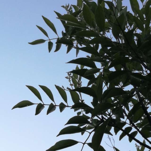 初夏の晴れた空と木