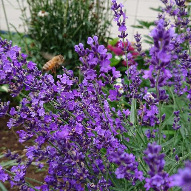 ラベンダーと蜜蜂
