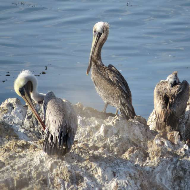 Brown Pelicans On Shell Beach