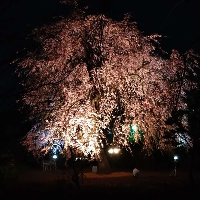 Sakura blossoms uplighting