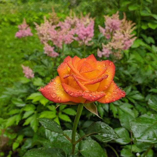 Садовая роза с капельками