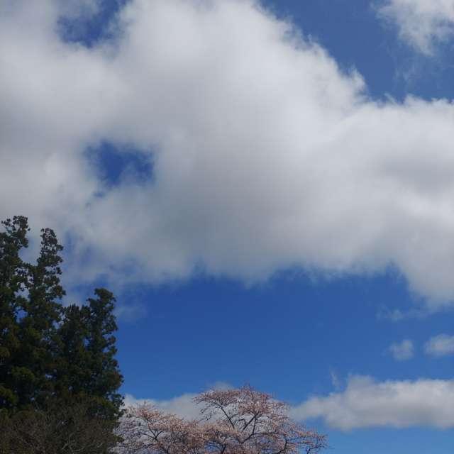 心地好い青空と雲☁️とサクラ🌸、気持ちいいお昼時😉
