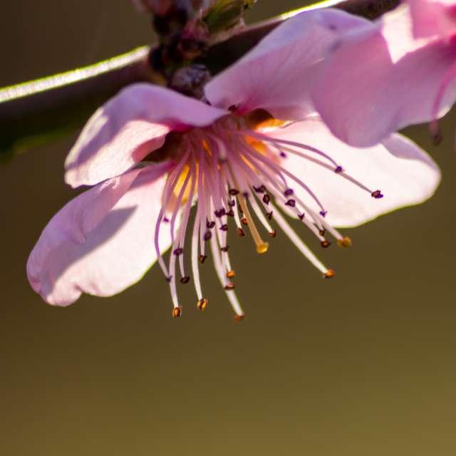 Peach blossoms in backlight