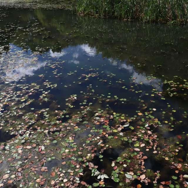 水面の落ち葉の紅葉