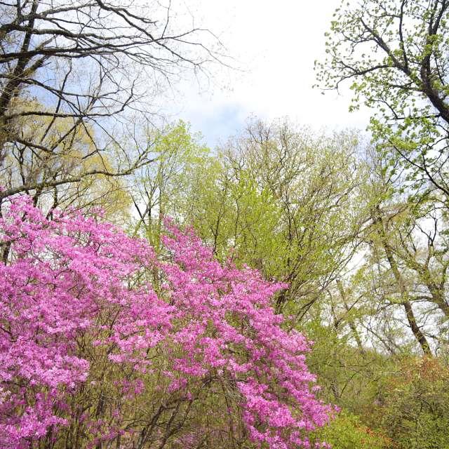 森にツツジのある風景