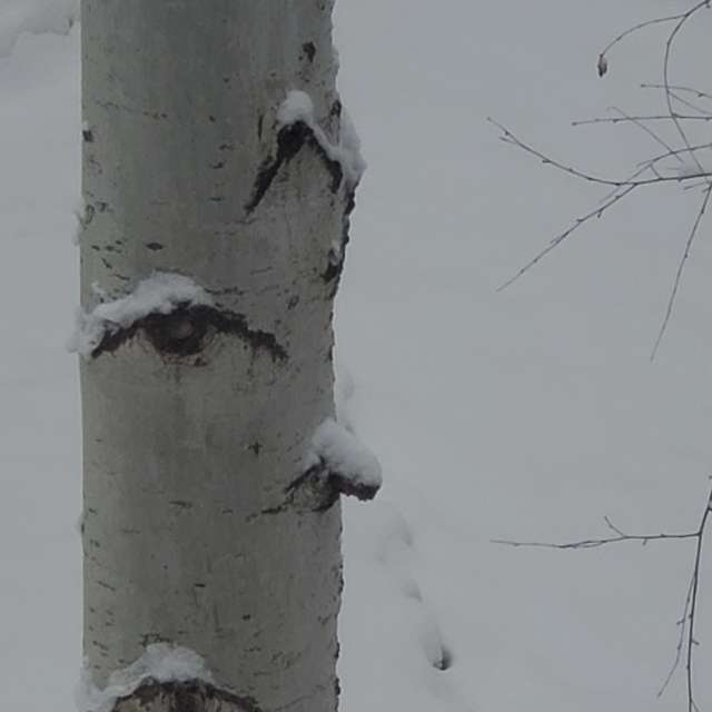 Snow on an aspen tree.