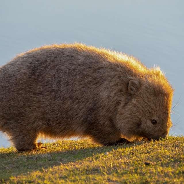 Wombat, Maria Island