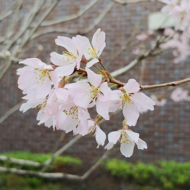 可憐に咲く桜