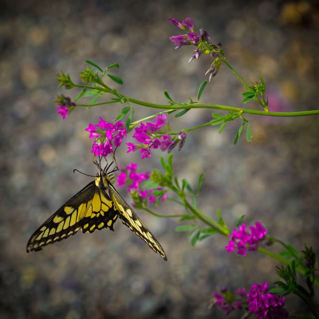 Butterfly on Pink Flowers, BC