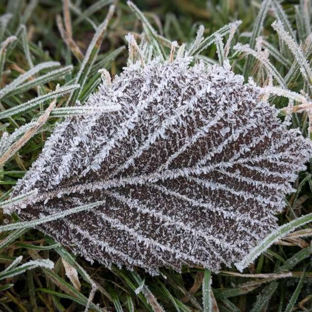 Icy Leaf
