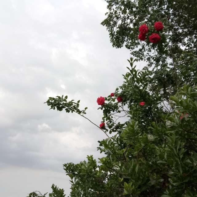 Rose sul fiume Po