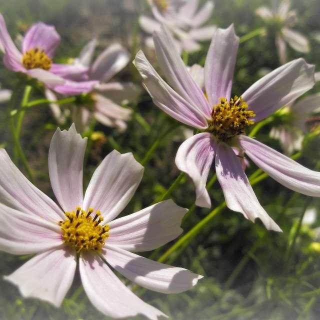 Cosmos bipinnatus.
