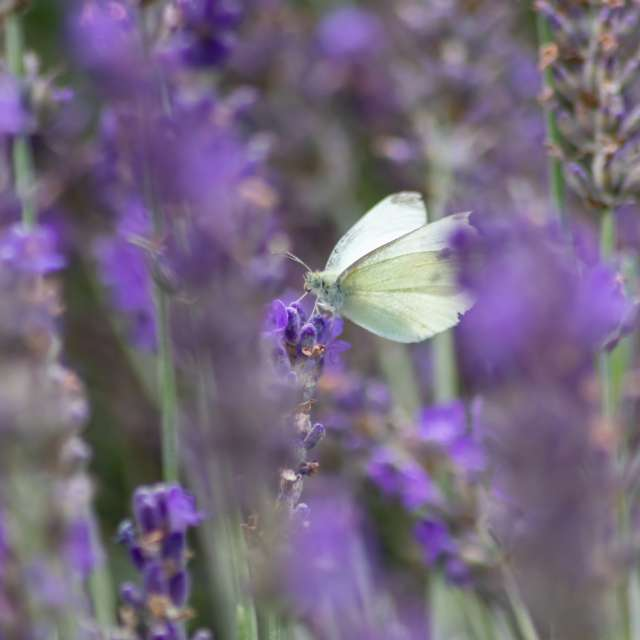 White butterfly in lavender