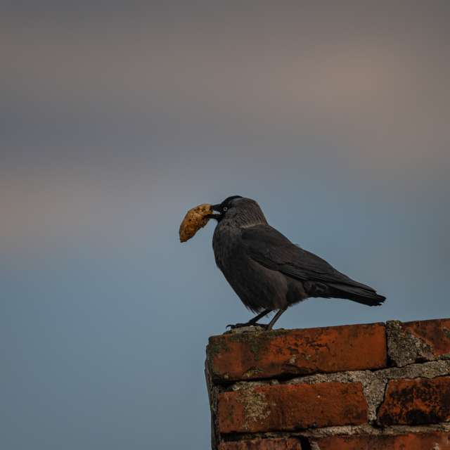 jackdaw on chimney with catch