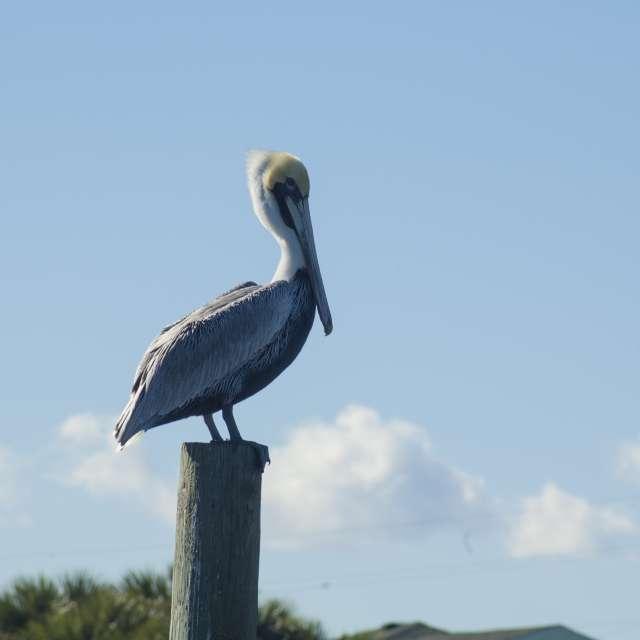 Pelican on Desttin Harbor