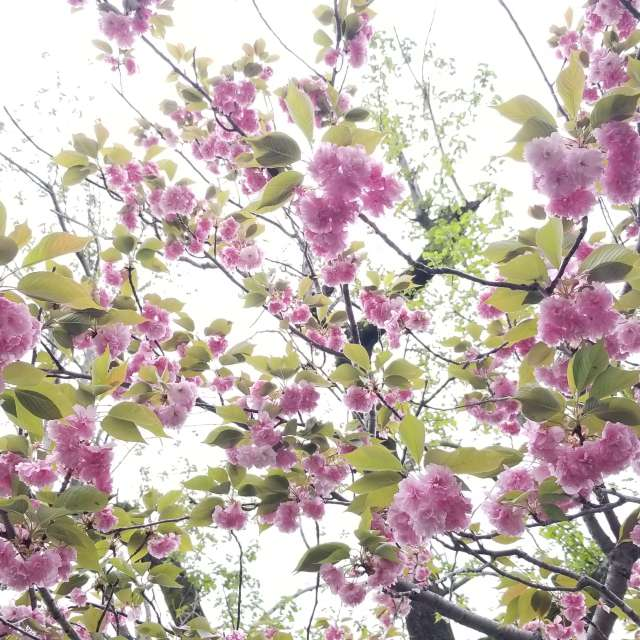 上賀茂神社の八重桜
