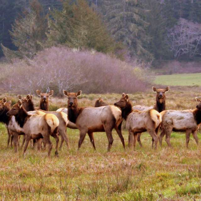 Elk Herd Crescent City CA