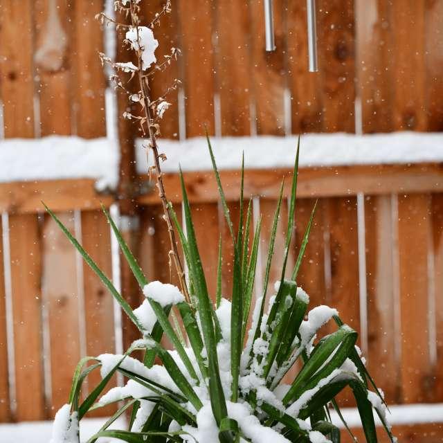 Snowfall on green yucca