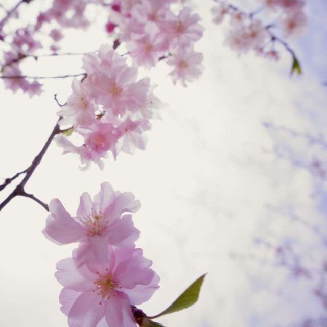 天上の枝垂桜