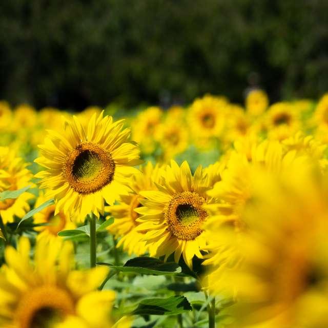 花の都公園のひまわり畑