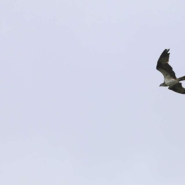 空を飛んで居るミサゴ