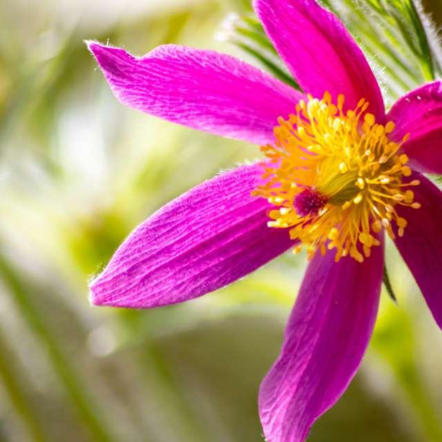 Filigree pink flower blossoms