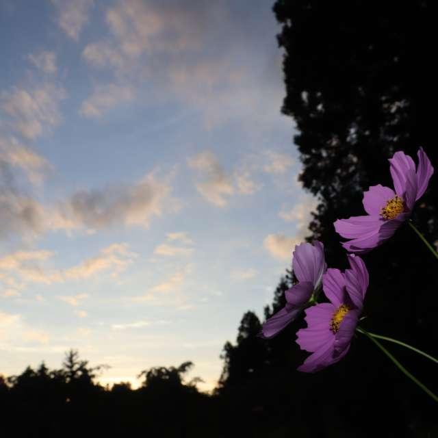 夕暮れと秋桜