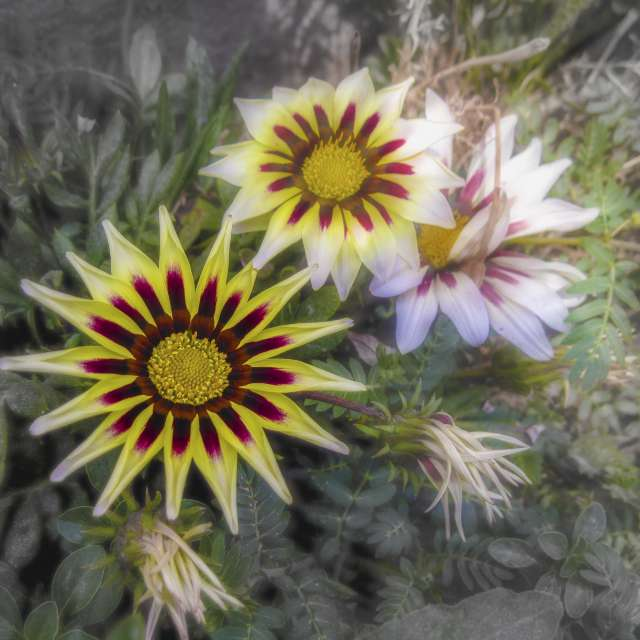 Summer flowers.Gazania.