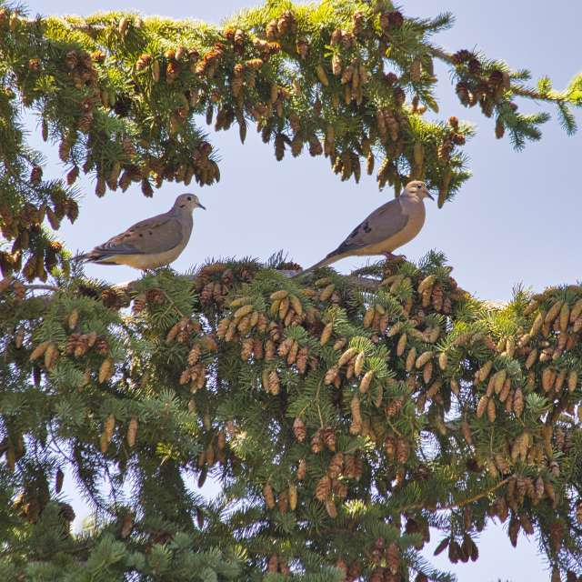 Mourning doves on pine branch